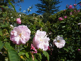 rose 103.jpg